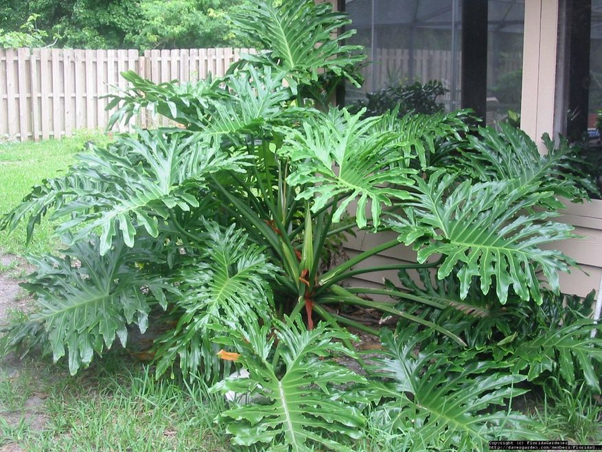 Philodendron id